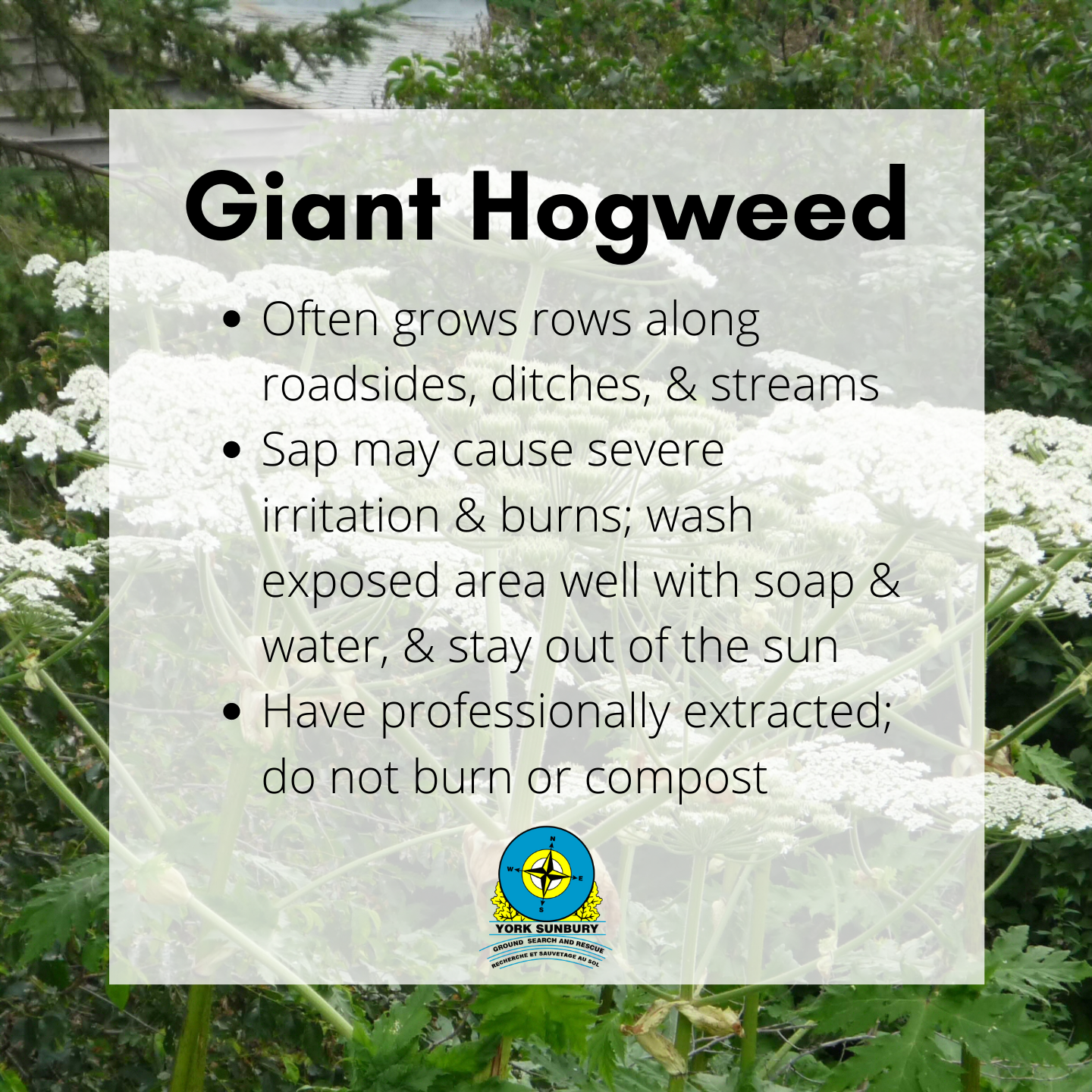 Poisonous NB plant giant hogweed