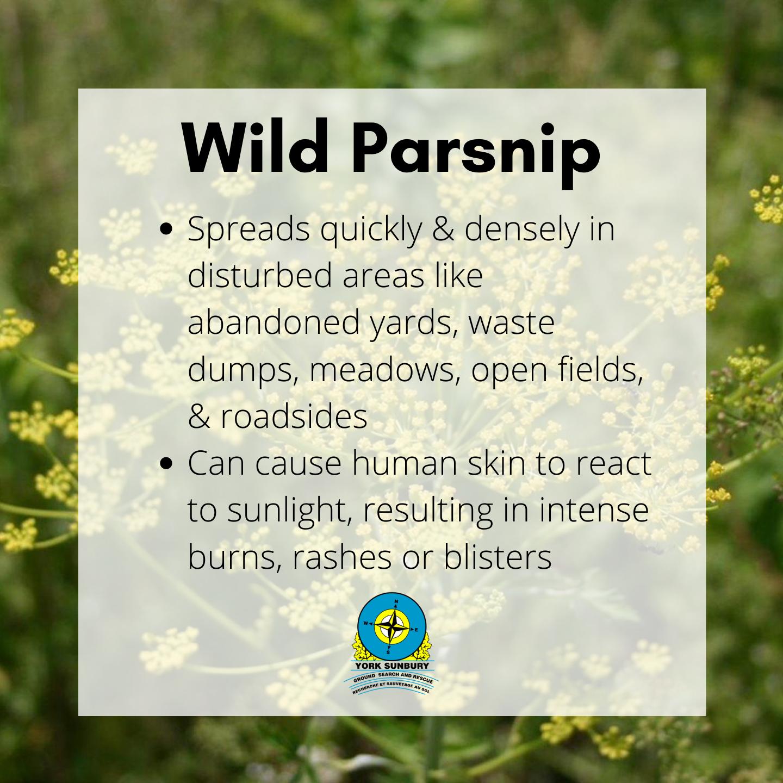 Poisonous NB plant wild parsnip